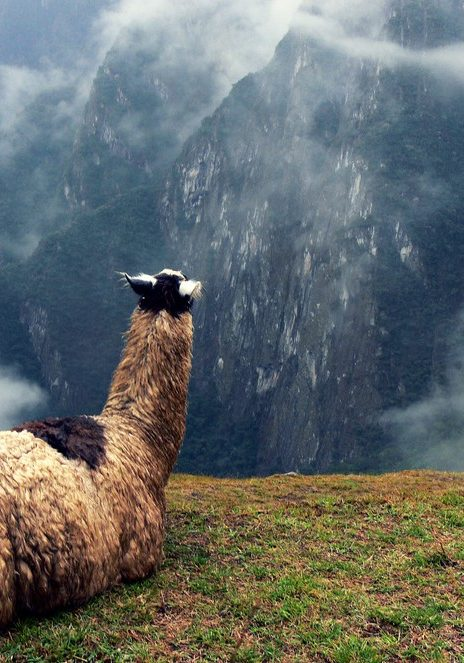 Llama staring off into the mountains